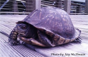 Box Turtle on the deck