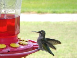 Ruby-throated Hummingbird Photo by: Christina Morhman