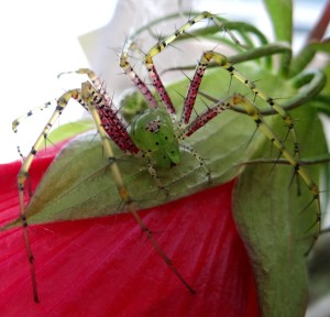 Green Lynx Spider. Photo by Brenna Ehmen.