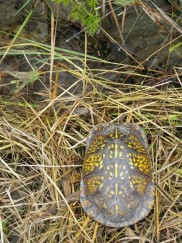 Box Turtle (Terapene carolina) by Christina Mohrman