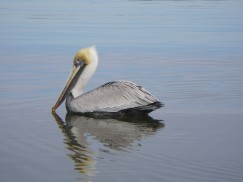 Brown Pelican (Pelecanus occidentalis) by Christina Mohrman